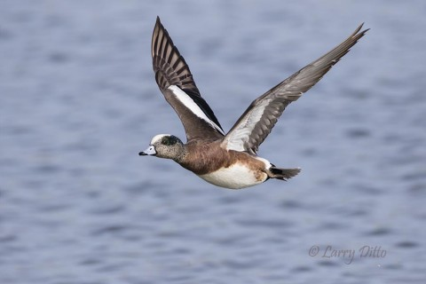 American Wigeon drake in flight.