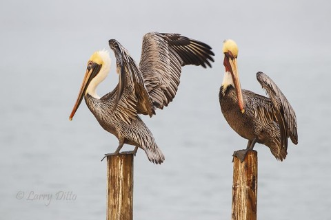 Brown Pelicans removing the droplets of fog from their feathers.