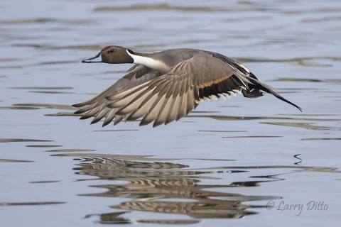 Northern Pintail drake at takeoff.