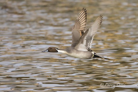 Northern Pintail drake over colored water.