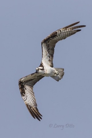 Osprey on the hunt for fish.