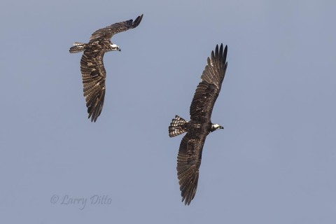 Ospreys in flight