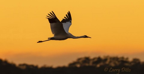 Whooping Crane headed to roost at sunset, Aransas NWR