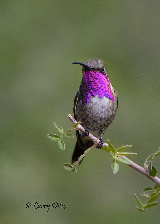 Lucifer Hummingbirds | Beauty of Birds
