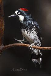 Acorn_Woodpecker_51U4687