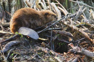 American Beaver, Caddo Lake, Texas
