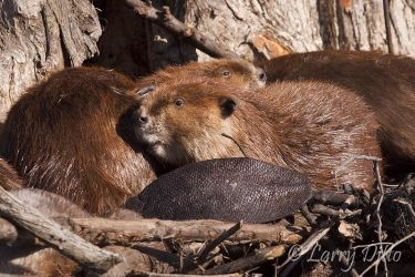 American Beaver_Larry_Ditto_MG_2863
