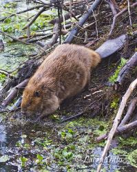 American Beaver_Larry_Ditto_MG_4292