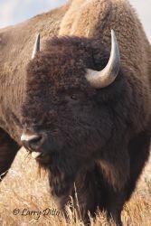 American_Bison_Bull_70K0070