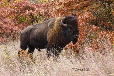 American_Bison_Larry_Ditto_70K0399