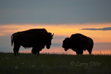 American_Bison_Larry_Ditto_70K3052
