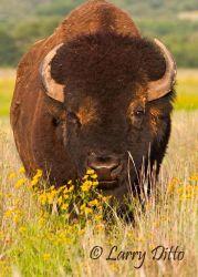 American Bison (Bison bison) mature bull, prairie flowers, Oklahoma, June
