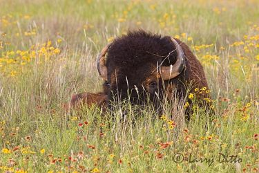 American Bison (Bos bison) mature bull, prairie flowers, Oklahoma, June