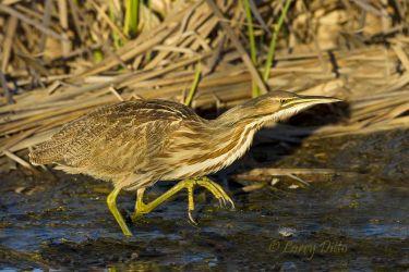 American Bittern stalking in marsh