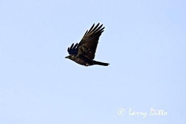 American Crow (Corvus brachyrhynchos) in flight, winter