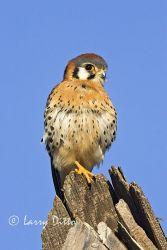 American Kestrel (Falco sparverius) male on hunting perch, n. Texas, winter