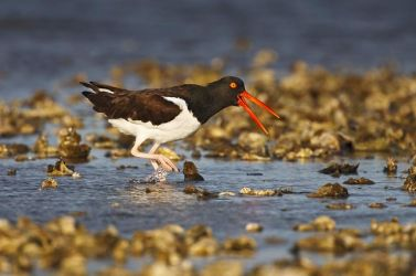 American_Oystercatcher_Larry_Ditto_70K1551