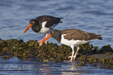 American_Oystercatcher_Larry_Ditto_MG_4764