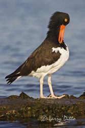 American_Oystercatcher_Larry_Ditto_X0Z1772