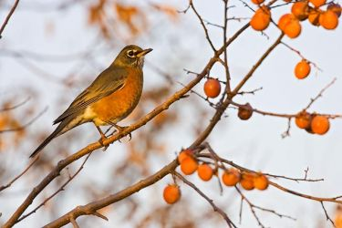 American_Robin_Eating_Persimmons_Larry_Ditto_X0Z8300
