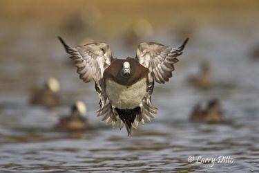 American Wigeon (Anas americanus) drake landing, autumn