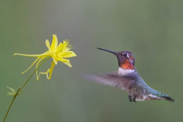 Anna's Hummingbird, male hovering at columbine flower.