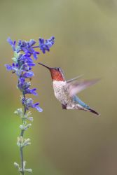Anna's Hummingbird, male hovering at flower.
