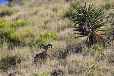 Aoudad Sheep, ewe on Davis Mountain hillside near Fort Davis, Texas