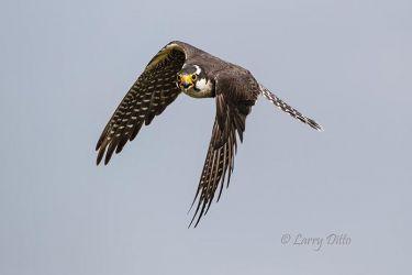 Aplomado Falcon adult circling nest, Laguna Atascos NWR, Texas