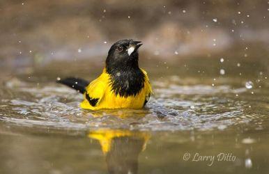 Audubon's Oriole bathing in s. Texas pond