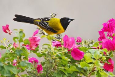 Audubon's Oriole in s. Texas