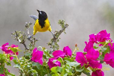 Audubon's Oriole, s. Texas
