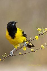 Audubon's Oriole on huisachillo branch, s. Texas