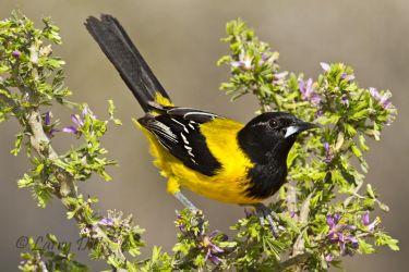 Audubon_s_Oriole_Larry_Ditto_MG_4647