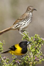 Audubon_s_Oriole_Larry_Ditto_MG_4780