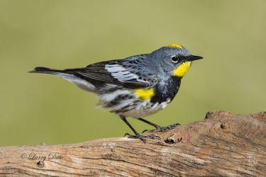 Audubon's Warbler male on stump