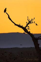 Bald Eagle and blackbirds