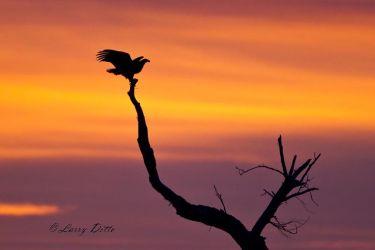 Bald_Eagle_Landing_51U0001