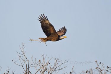 Bald Eagle flying with nest material, Llano, Texas