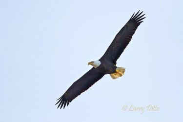 Bald_Eagle_Larry_Ditto_MG_0952