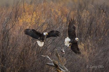 Bald Eagles, adults fighting over duck kill