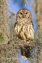 Barred Owl, Caddo Lake, Texas