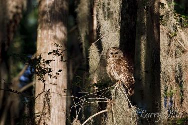 Barred_Owl_Larry_Ditto_70K9853