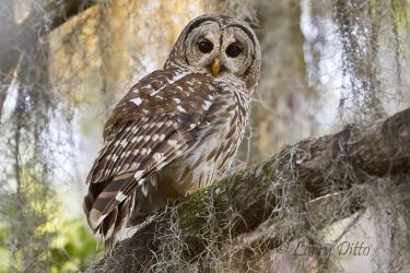 Barred_Owl_Larry_Ditto_MG_2792
