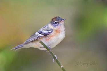 Bay-breasted_Warbler_51U9899