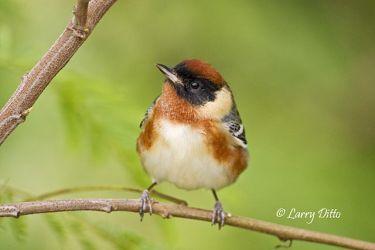 Bay-breasted Warbler, SPI