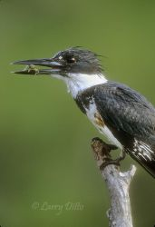 Belted Kingfisher with dragonfly larvae, Texas