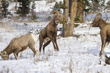 Bighorn_7986