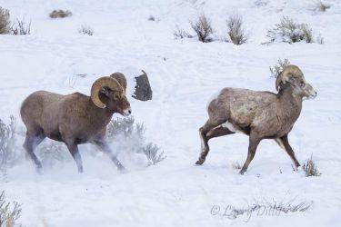 Bighorn rams fighting in snow