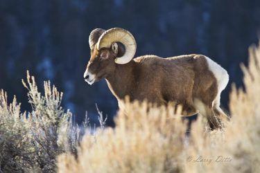 Bighorn (Ovis canadensis) ram in sagebrush, Wyoming.